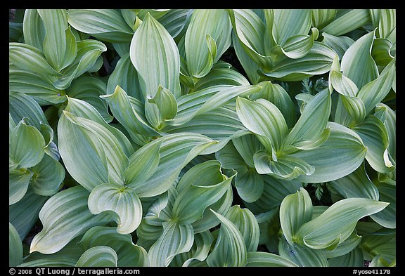 Corn lilly (Veratrum californicum). Yosemite National Park (color)