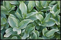 Corn lilly (Veratrum californicum). Yosemite National Park ( color)