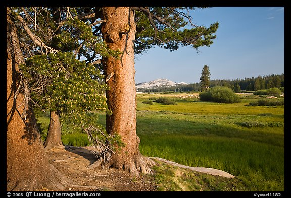 Pine trees and Tuolumne Meadows, early morning. Yosemite National Park (color)