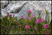 Alpine flowers and granite. Yosemite National Park ( color)