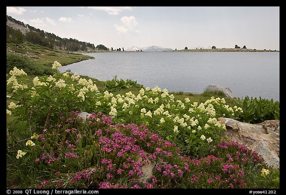 Wildflowers and lower Gaylor Lake. Yosemite National Park (color)