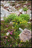 Alpine flowers and rocks. Yosemite National Park ( color)
