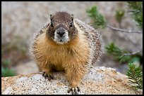 Front view of marmot. Yosemite National Park, California, USA.