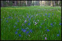 Blue wildflowers in meadow, Yosemite Creek. Yosemite National Park ( color)