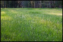 Summer wildflowers in meadow, Yosemite Creek. Yosemite National Park ( color)