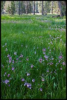 Meadow with carpet of purple summer flowers, Yosemite Creek. Yosemite National Park ( color)