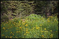 Yellow flowers and lupine at forest edge, Yosemite Creek. Yosemite National Park ( color)