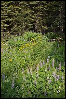 Lupine, yellow flowers, and trees, Yosemite Creek. Yosemite National Park ( color)
