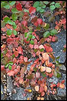Leaves and rock, Hetch Hetchy. Yosemite National Park ( color)