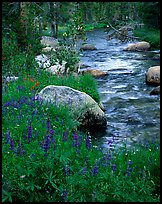 Lupine and stream, Tuolumne meadows. Yosemite National Park ( color)