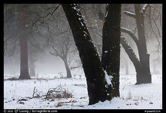 Black oaks, snow, and fog, El Capitan Meadow. Yosemite National Park (color)