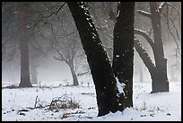Black oaks, snow, and fog, El Capitan Meadow. Yosemite National Park ( color)