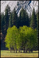 Aspens in Ahwanhee Meadows in spring. Yosemite National Park ( color)