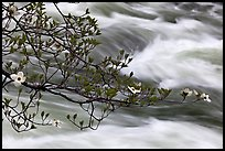 Dogwood branch and Merced River rapids. Yosemite National Park ( color)