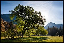 Cooks Meadow, Elm Tree, and Half-Dome. Yosemite National Park ( color)