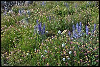 Carpet of wildflowers. Yosemite National Park ( color)