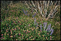 Lupine and manzanita. Yosemite National Park ( color)