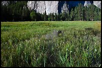 Irises, flooded El Capitan Meadow, and Cathedral Rocks. Yosemite National Park, California, USA.