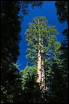 Giant sequoia in Merced Grove. Yosemite National Park ( color)
