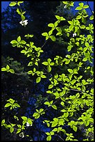 Backlit dogwood leaves and blooms, Merced Grove. Yosemite National Park, California, USA. (color)