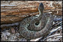 Rattlesnake. Yosemite National Park, California, USA.