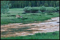 Deer in meadow next to river, Lyell Canyon. Yosemite National Park, California, USA.