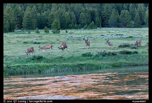 Herd of deer in meadow, Lyell Fork of the Tuolumne River. Yosemite National Park, California, USA.