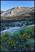Wildflowers above Fletcher Creek Valley. Yosemite National Park ( color)