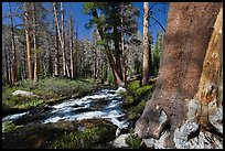 Stream in forest, Lewis Creek. Yosemite National Park ( color)