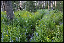 Lush wildflowers, Cathedral Fork. Yosemite National Park ( color)