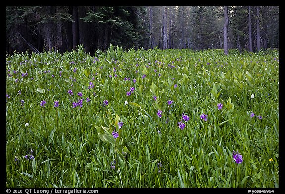 Flowers and forest edge, Summit Meadows. Yosemite National Park, California, USA.