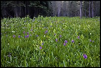 Flowers and forest edge, Summit Meadows. Yosemite National Park ( color)