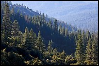 Forested slopes, Wawona. Yosemite National Park ( color)