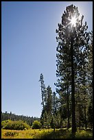 Sun through pine tree on edge of Wawona meadow. Yosemite National Park ( color)