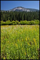 Wawona meadow, wildflowers, and Wawona Dome. Yosemite National Park ( color)
