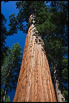 Looking up from base of Giant Sequoia tree, Mariposa Grove. Yosemite National Park ( color)