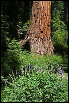 Lupine at the base of Giant Sequoia tree, Mariposa Grove. Yosemite National Park ( color)