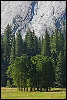 Aspen cluster and Glacier Point Apron, summer. Yosemite National Park, California, USA.