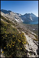 Wildflowers on slope, Sheep Peak and Upper McCabe Lake. Yosemite National Park ( color)