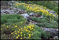 Alpine flowers and stream. Yosemite National Park ( color)