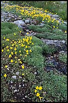 Yellow alpine flowers and stream. Yosemite National Park ( color)