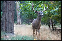Deer with antlers. Yosemite National Park ( color)