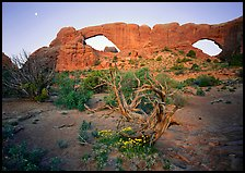 Wildflowers, dwarf tree, and Windows at sunrise. Arches National Park ( color)