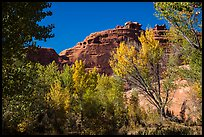 Cottonwood trees in autumn framing cliffs, Courthouse Wash. Arches National Park ( color)
