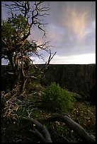 Juniper, sunset North Rim. Black Canyon of the Gunnison National Park ( color)