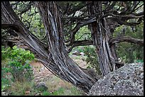 Juniper trees. Black Canyon of the Gunnison National Park, Colorado, USA.