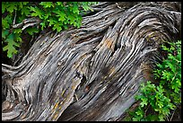 Gnarled root detail. Black Canyon of the Gunnison National Park, Colorado, USA.