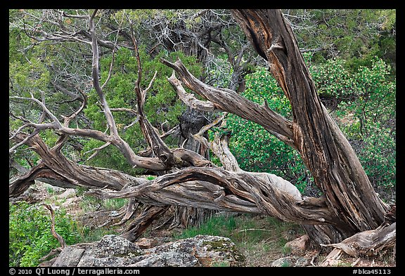 Twisted juniper trees. Black Canyon of the Gunnison National Park (color)