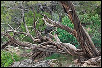 Twisted juniper trees. Black Canyon of the Gunnison National Park, Colorado, USA.
