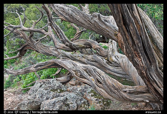 Twisted tree trunks. Black Canyon of the Gunnison National Park (color)